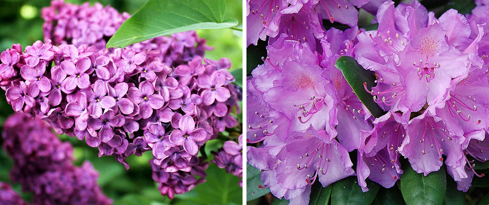 blooming shrubs and trees rhododendron lilac