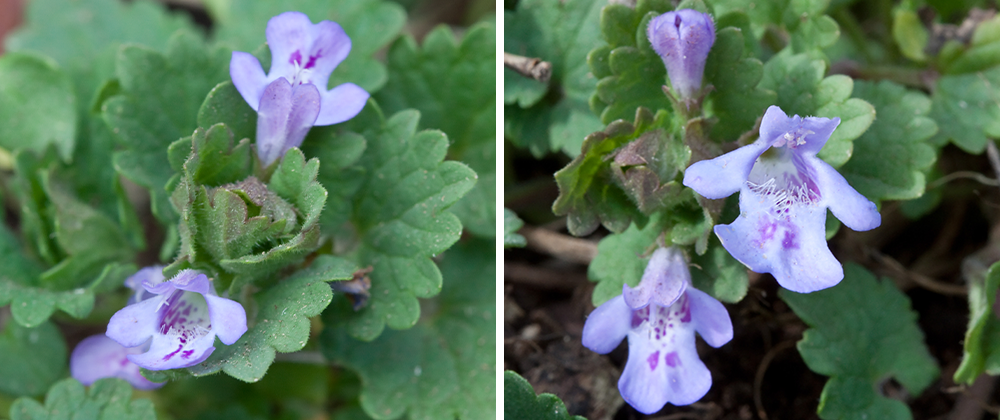 creeping charlie ground ivy mid double