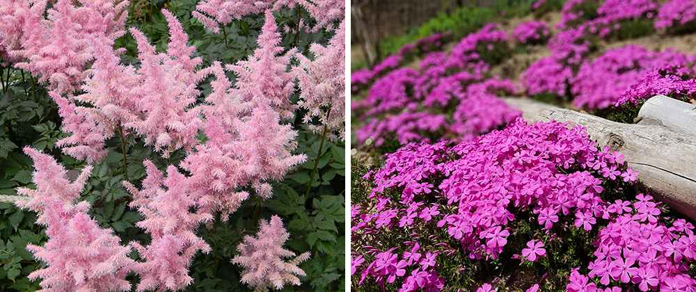 astilbe and creeping phlox spring blooming perennials