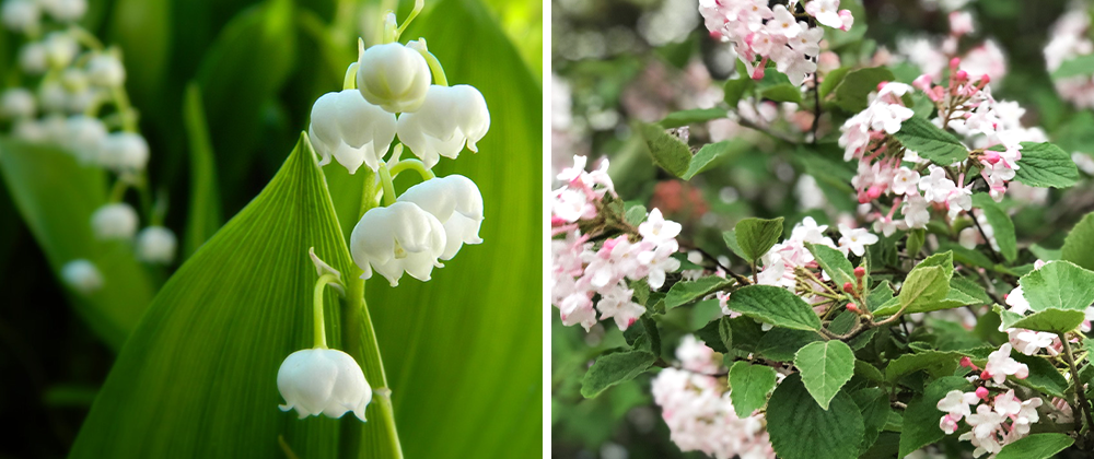 fragrant plants lily of the valley korean spice viburnum