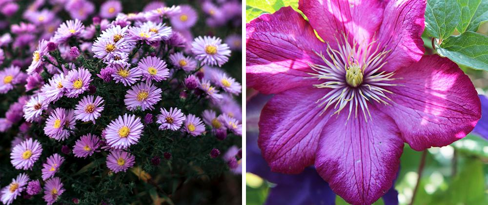 summer blooming perennials aster clematis