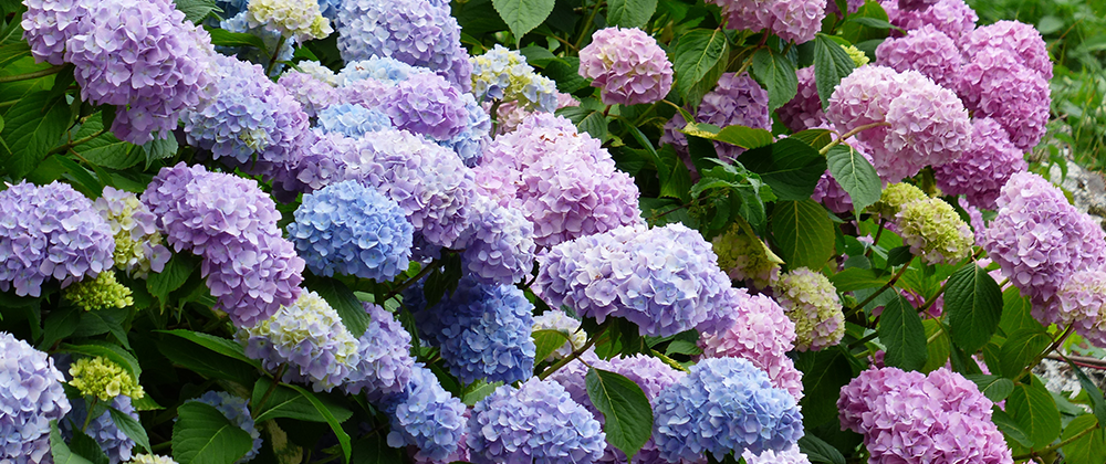 Selecting the Right Hydrangea for the Right Location in Your Yard photo