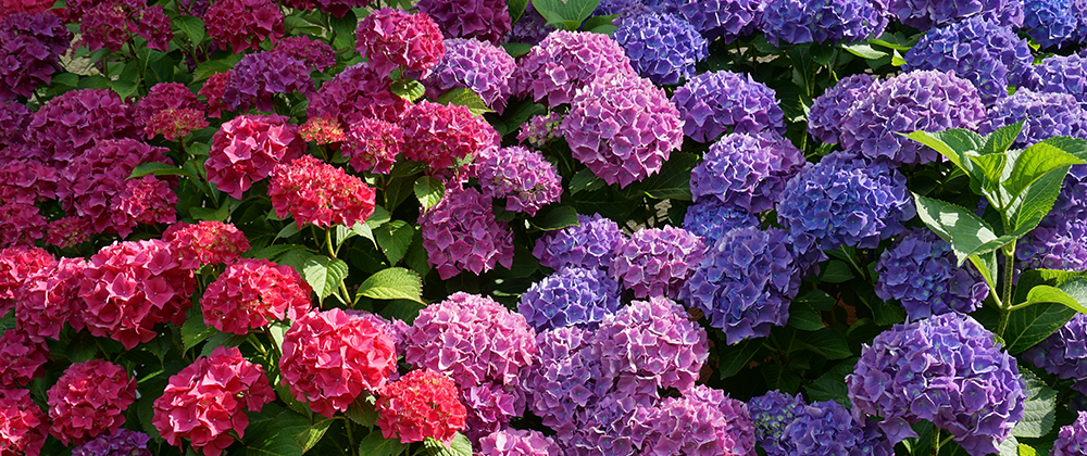 Hydrangea Care: When to Prune