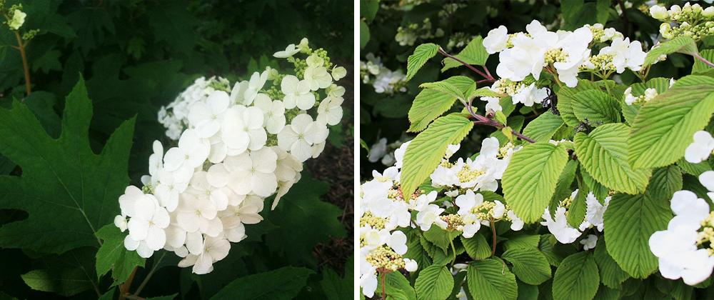 hydrangea oakleaf shrub