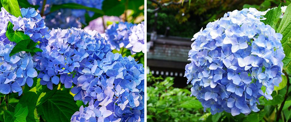 blue hydrangea care pruning