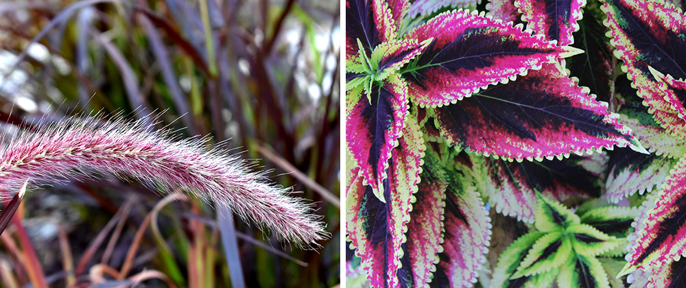 colorful garden landscape purple fountain grass and coleus