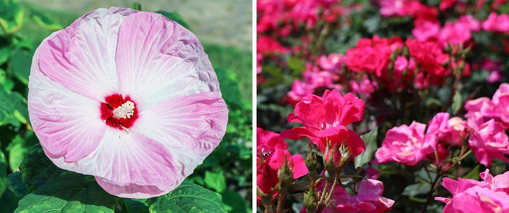 hibiscus knockout roses usda zones moline meyer