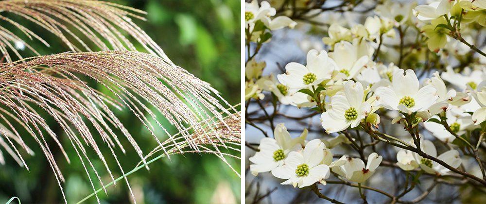 miscanthus grass flowering dogwood usda zones moline meyer