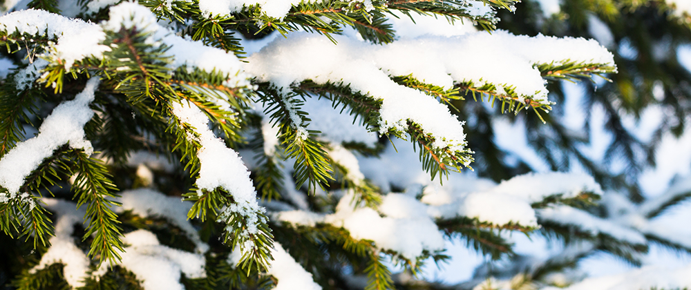 How to Protect Your Evergreens for Winter photo
