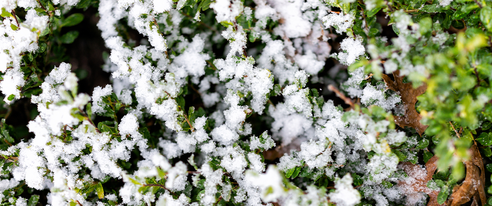 Managing Winter Damage to Trees and Shrubs photo