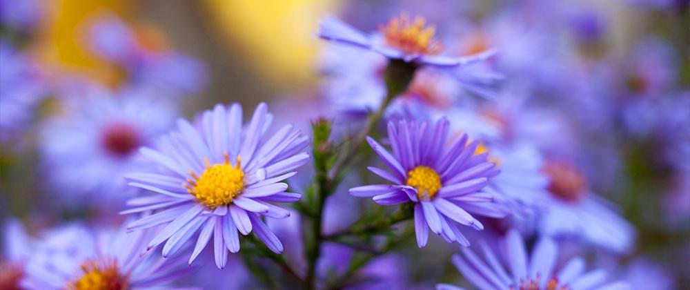 meyer-landscape-late-summer-blooming-perennials-aster
