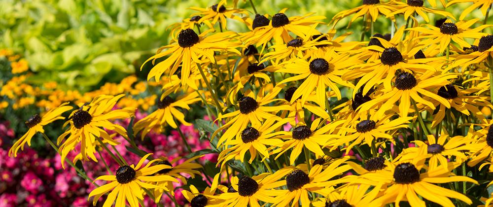 meyer-landscape-late-summer-blooming-perennials-black-eyed-susans