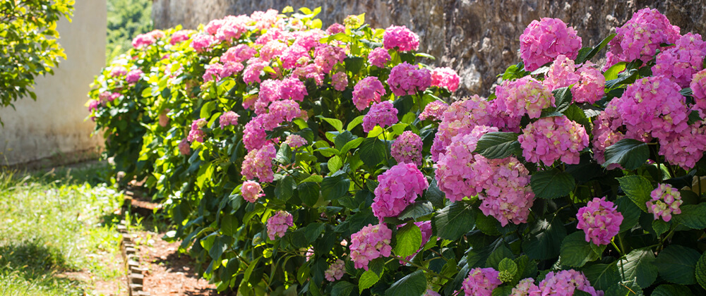 Five Beautiful Hydrangea Varieties for the Quad Cities photo
