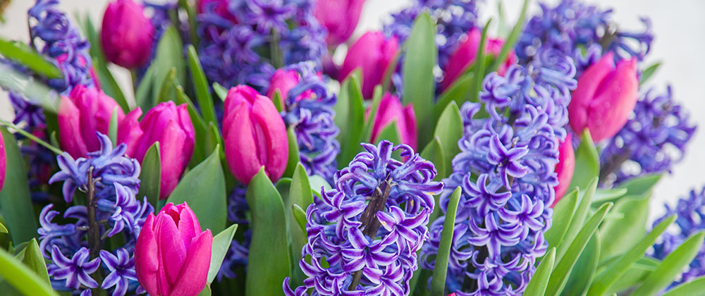 meyer-blog-Your Cheat Sheet for Fall-Planted, Spring-tulip and hyacinth bloom