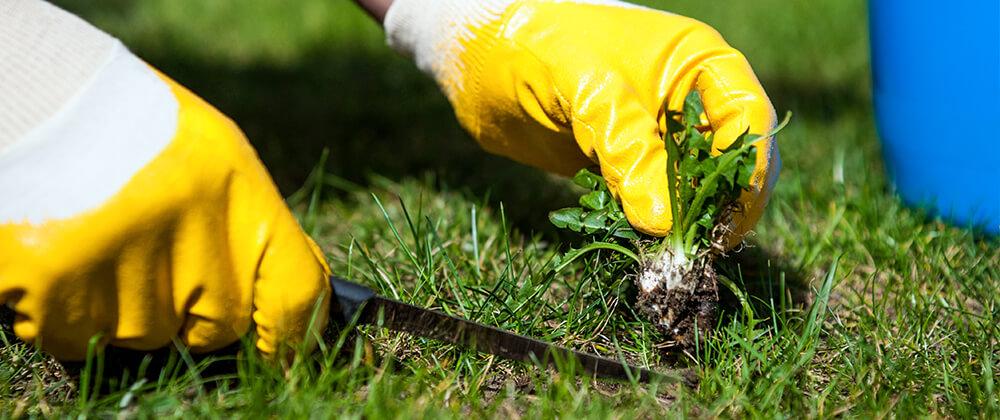 meyer-landscape-controlling-weeds-lawn-pulling-dandelions