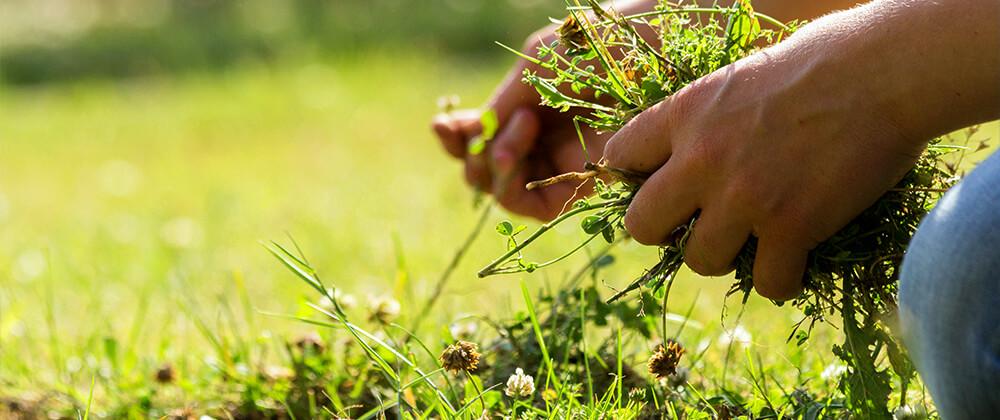 meyer-landscape-controlling-weeds-lawn-pulling-weeds