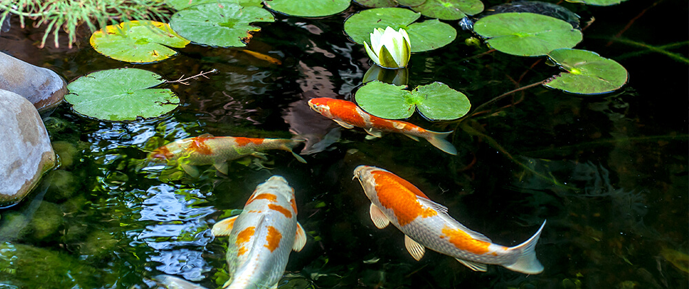 meyer-landscape-overwintering-pond-fish-koi-pond