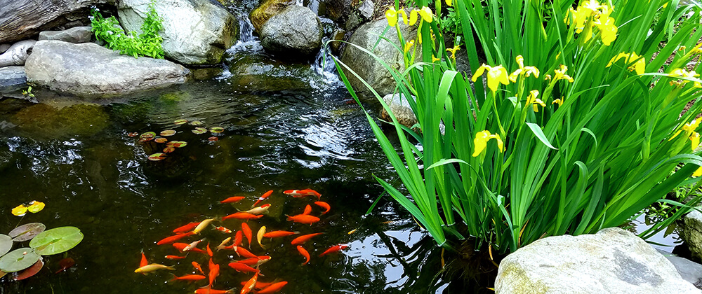 How to Overwinter Pond Fish photo