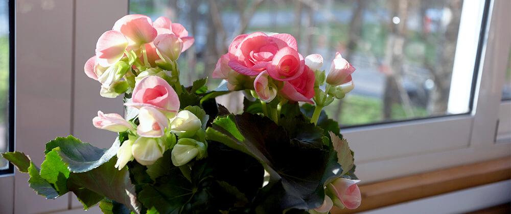 meyer-move-plants-indoors-winter-begonia-window