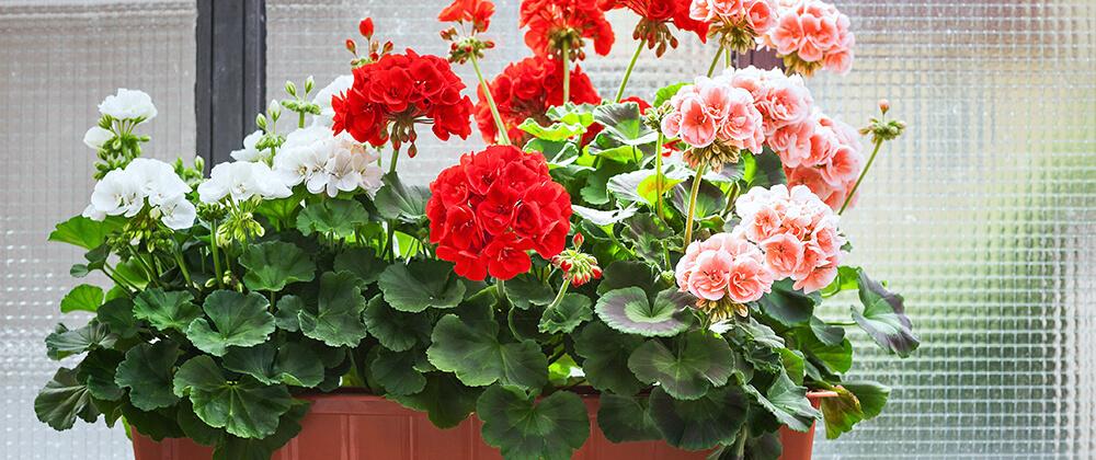 meyer-move-plants-indoors-winter-geranium-window
