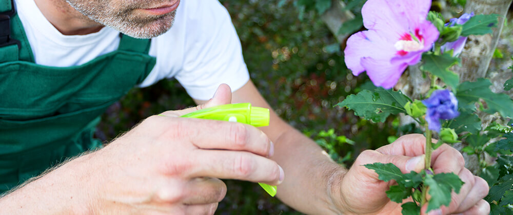 meyer-move-plants-indoors-winter-man-spraying-hibiscus