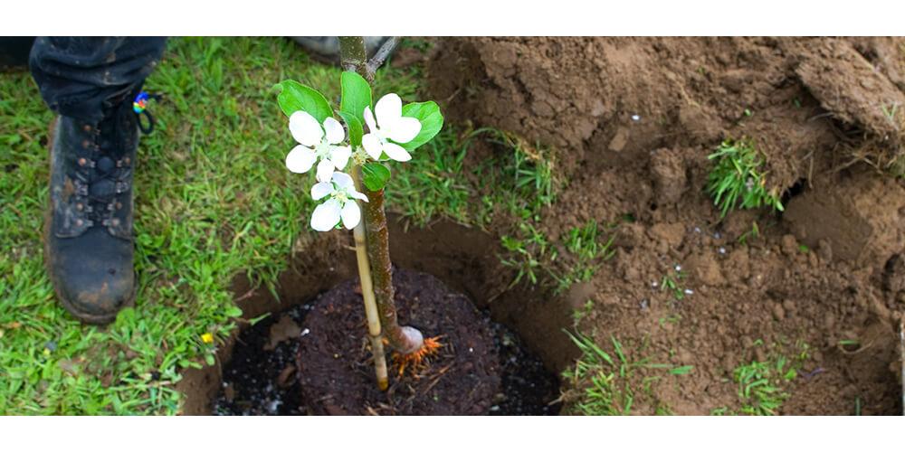meyer-landscape-plant-a-tree-flowering-sapling-in-hole