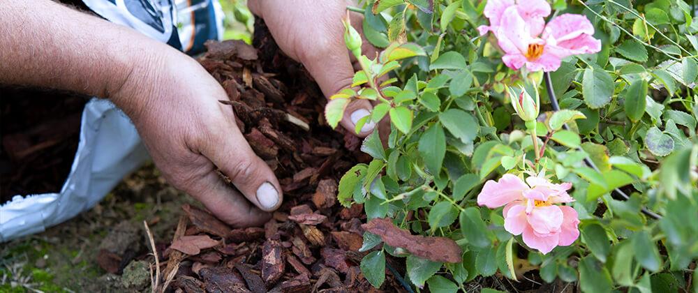 meyer-landscape-rose-care-winter-mulch