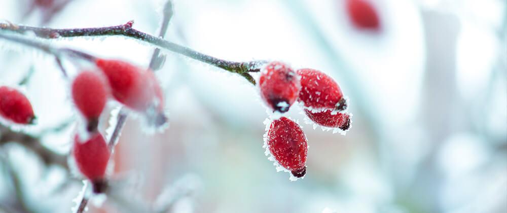 meyer-landscape-rose-care-winter-rosehips-frost