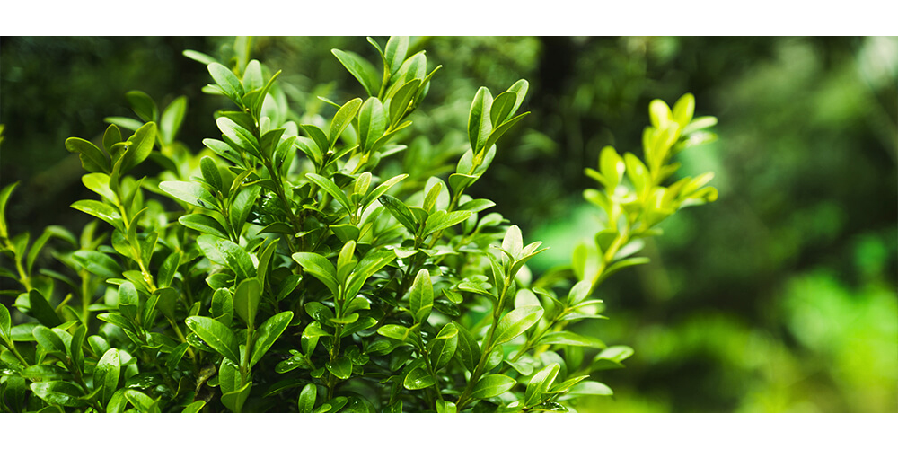 meyer-plants-for-privacy-boxwood-shrub