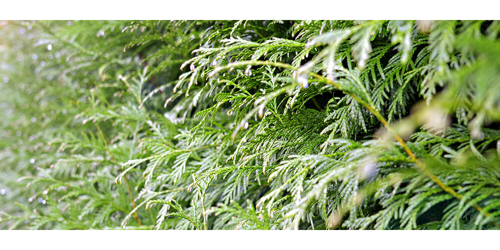meyer-plants-for-privacy-green-arborvitae