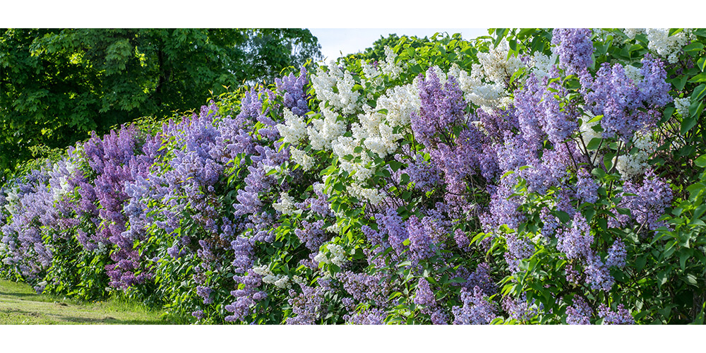 meyer-plants-for-privacy-lilac-shrubs-pruple-white