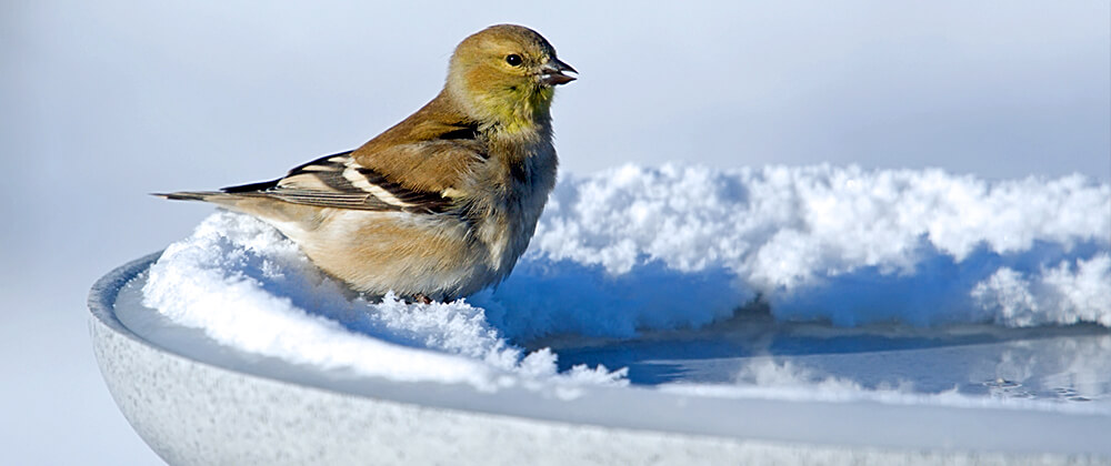 meyer-landscape-help-birds-winter-goldfinch-heated-birdbath-snow