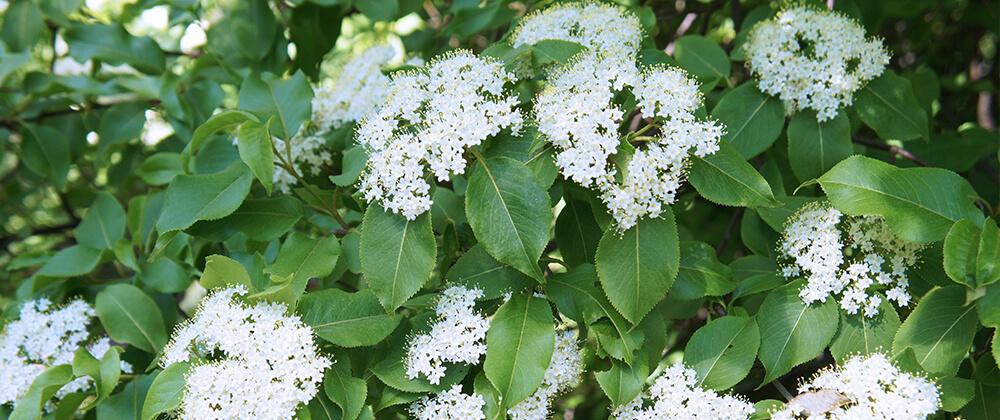 meyer landscape flowering trees small spaces blackhaw viburnum white flowers