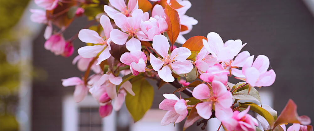 meyer landscape flowering trees small spaces crabapple blossums up close