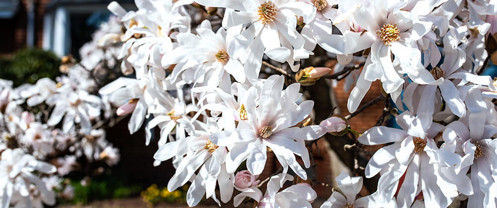meyer landscape flowering trees small spaces royal star magnolia