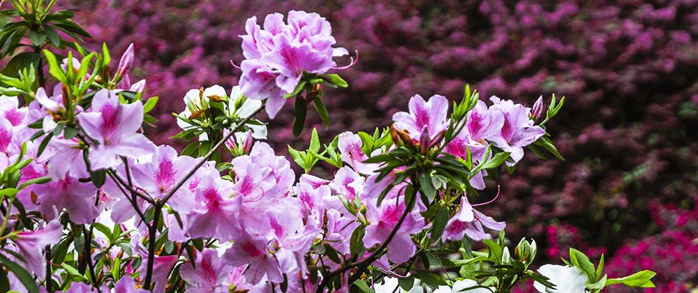 meyer landscape flowering shrubs for quad cities pink azalea