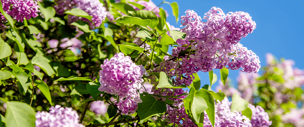 meyer landscape flowering shrubs for quad cities pink lilac