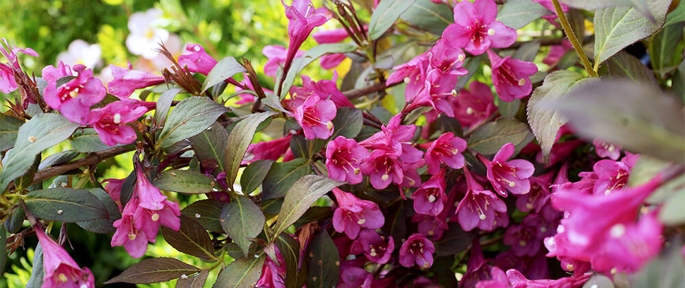 meyer landscape flowering shrubs for quad cities pink weigela