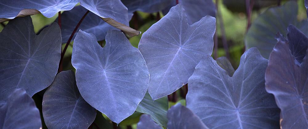 meyer landscape plant summer blooming bulbs elephant ears purple