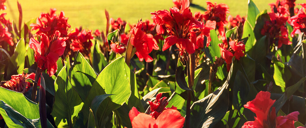 meyer landscape plant summer blooming bulbs red canna lilies in sun