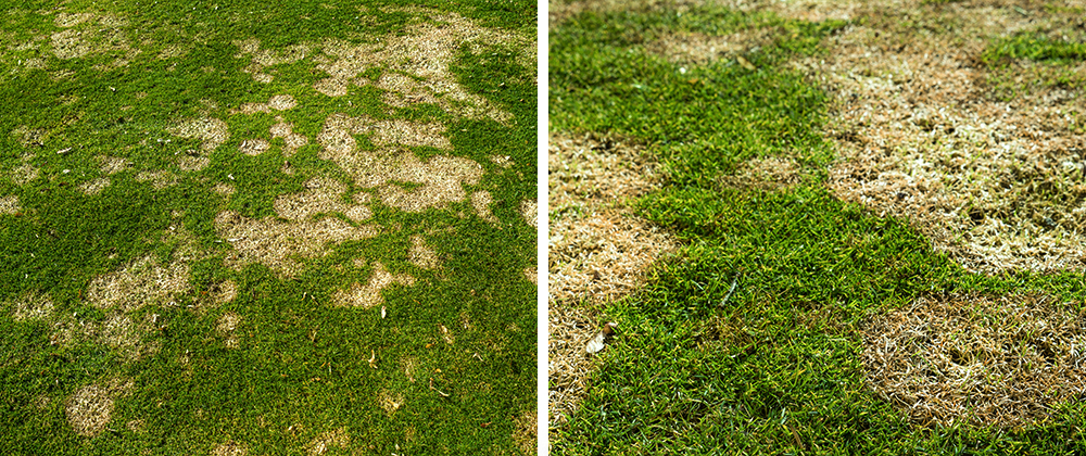 meyer landscape spring lawn care snow mold in grass