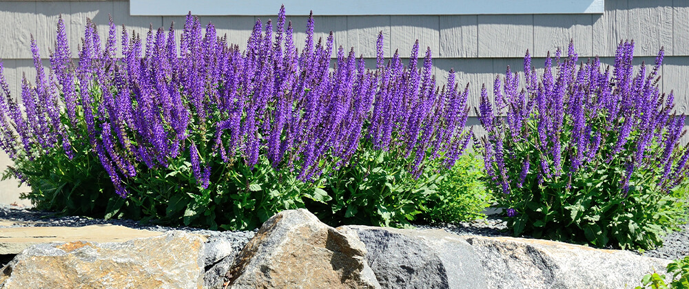 Bring Blooms to Your Garden With These Late Spring-Blooming Perennials photo