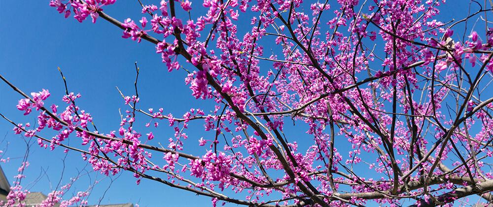 meyer landscape design ornamental trees for front yard eastern redbud