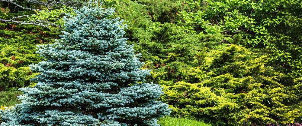meyer landscape design ornamental trees for front yard fat albert blue spruce