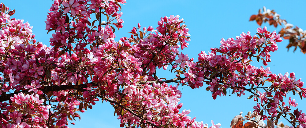 8 Ornamental Trees for a Front Yard Feature photo