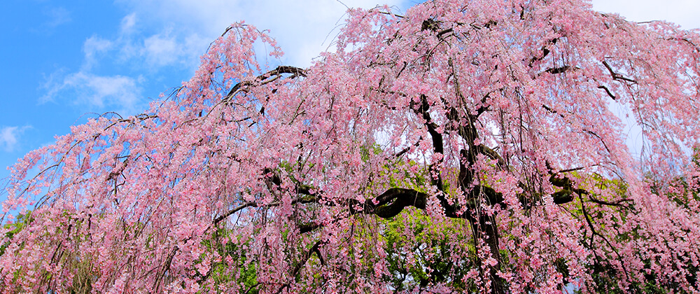 meyer landscape design ornamental trees for front yard pink showers weeping cherry