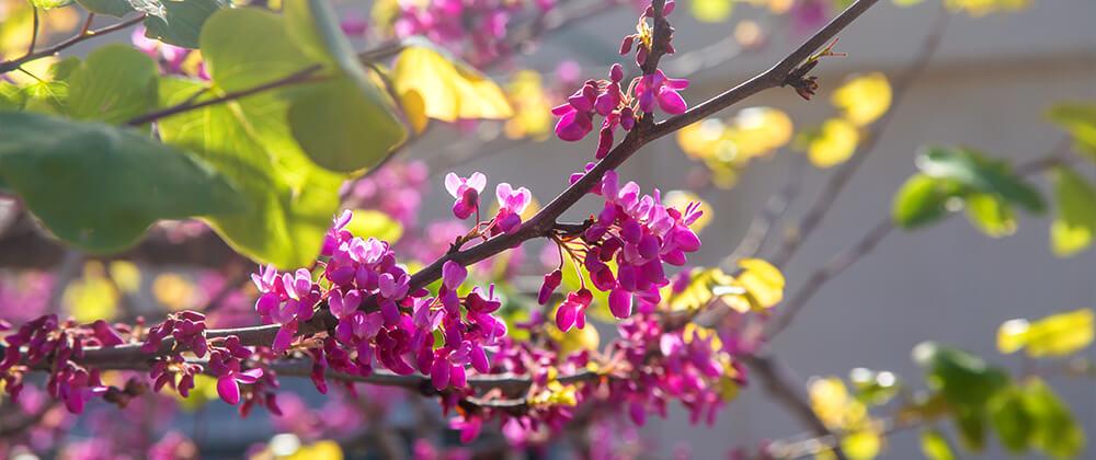 meyer landscape design ornamental trees for front yard prairiefire crabapple