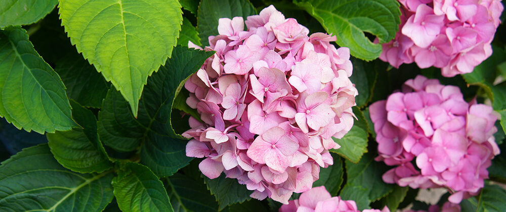 meyer landscape why hydrangea isnt blooming pink blooms
