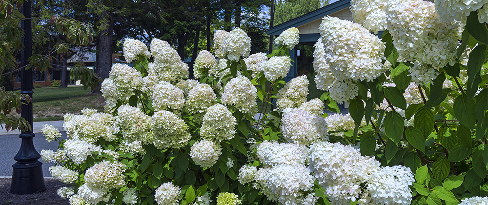 meyer landscape why hydrangea isnt blooming smooth white