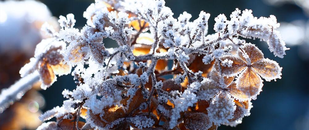 meyer landscape why hydrangea isnt blooming winter frost